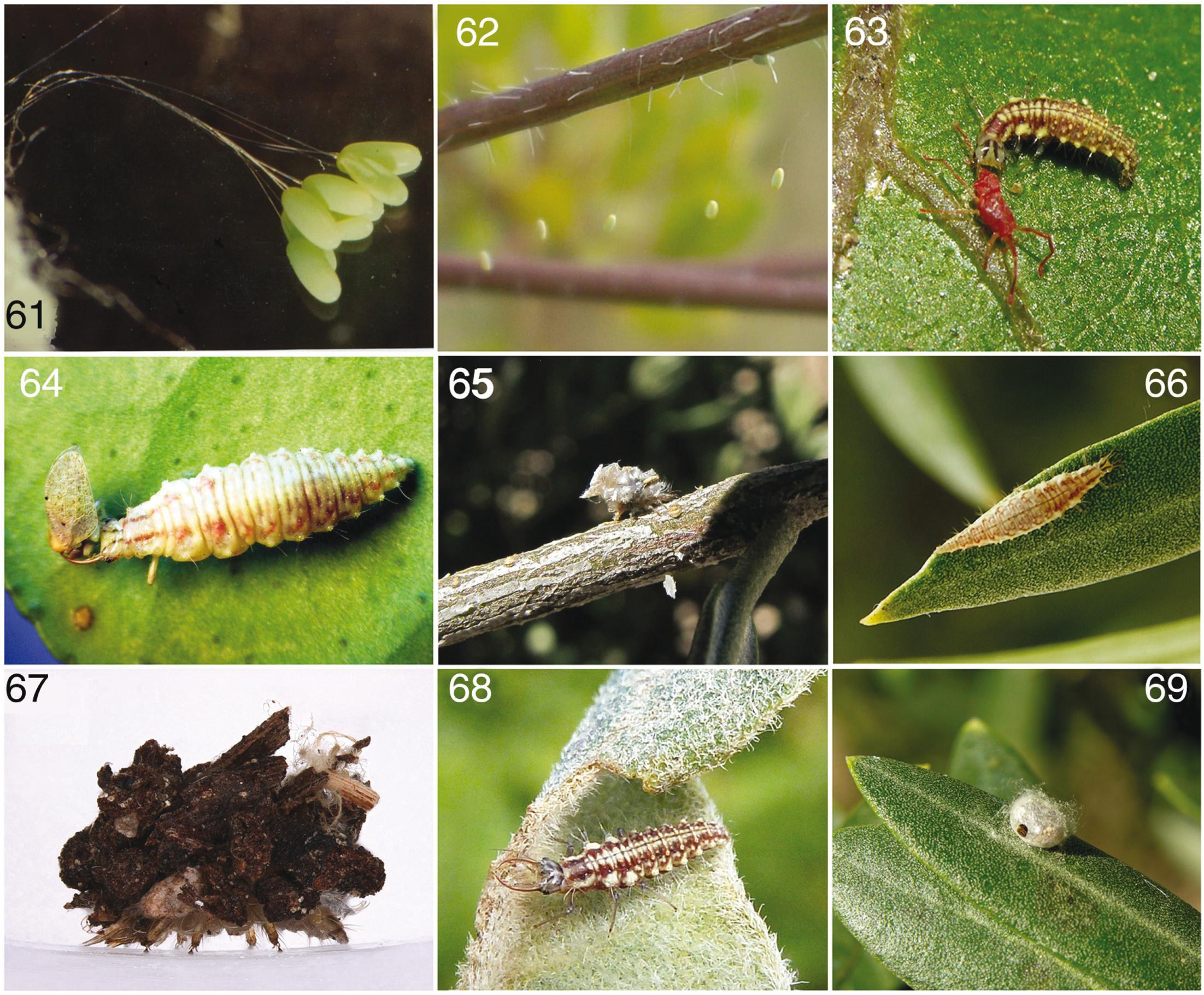 9f6188961 Los crisópidos de la Península Ibérica y Baleares (Insecta ...